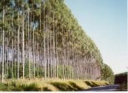 Floresta industrial deve chegar a 1 milh�o de hectares no MS at� 2020